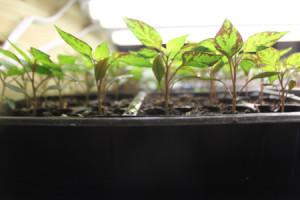 The planting of seeds indoors signals the start of Spring for us - no matter the weather outside!