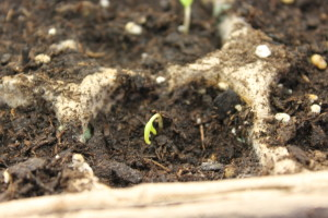 When you see a few seeds starting to break through the soil - it's time to pull of the covers and turn on the lights!