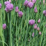 Chives can be used as a garnish, or you can put them in oil to flavor