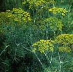 Dill is a wispy, tall plant that gives texture to your garden
