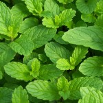 Spearmint is a fantastic smelling herb that can be used in drinks and more