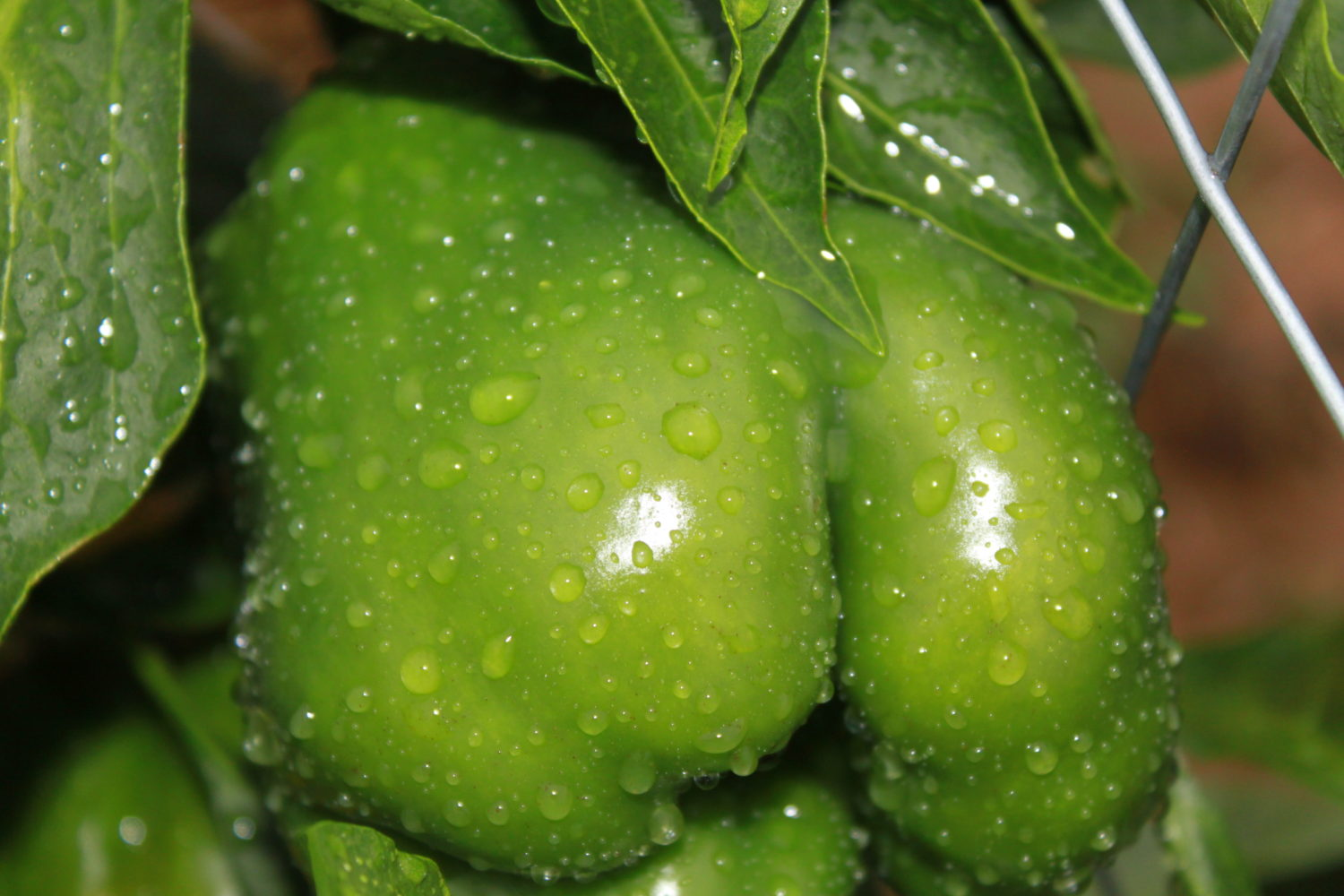ALL ABOUT PEPPERS…How To Grow All Kinds Of Garden Peppers