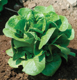 Bibb lettuce is a great choice for the home gardener - it is full of flavor!