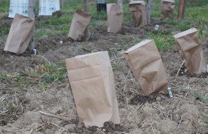 Who knew lunch bags and nails could save the crops from frost!