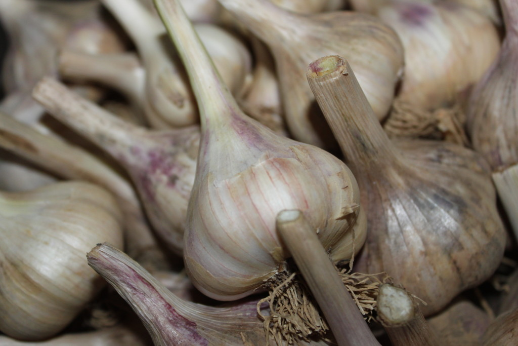 Fresh Harvested Garlic
