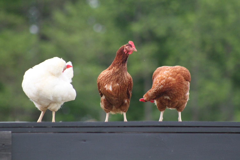 Raising Backyard Chickens – Chicks To Coop