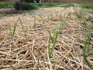 emerging garlic