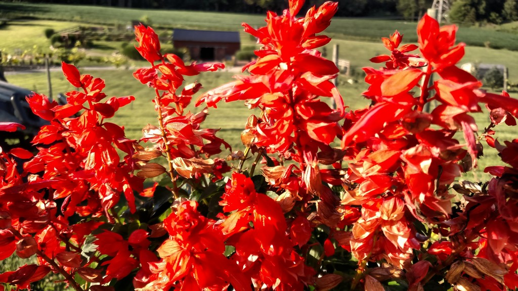 The potted Salvia adds some bright red color to the patio in our little vineyard.