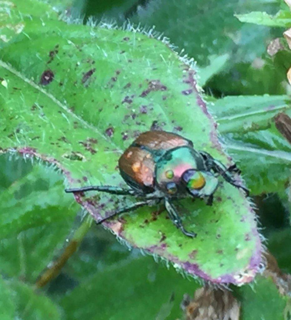 Natural Japanese Beetle Spray