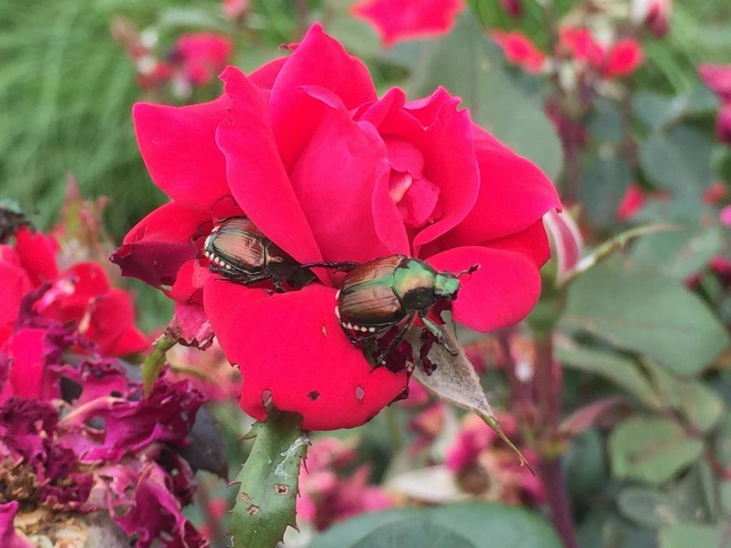 Natural Beetle Spray