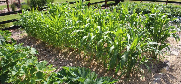 The Vegetable Garden Tour In Photos – Mid-July At OWG Farms