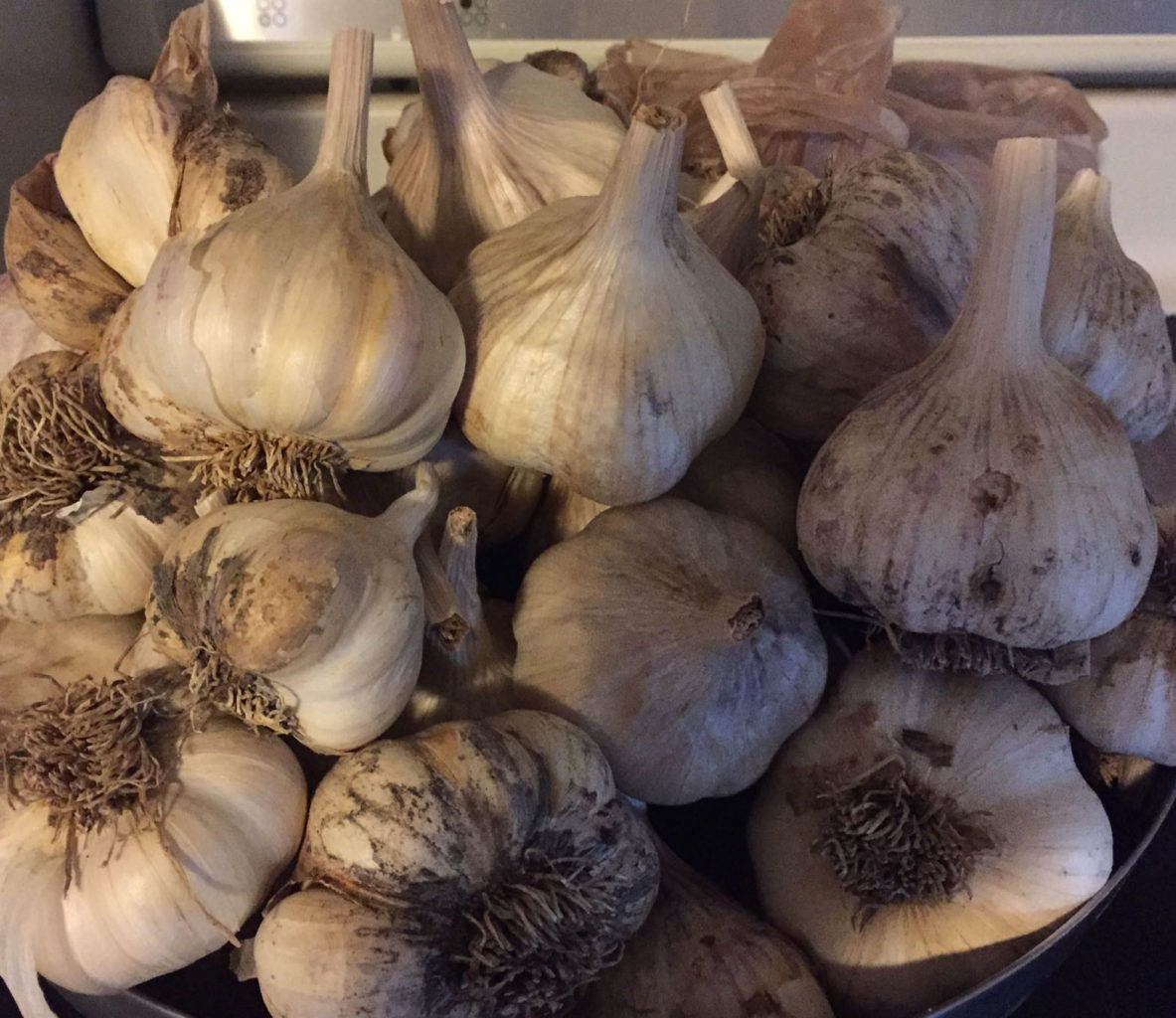 how to grow garlic this fall simple methods to a great crop. Black Bedroom Furniture Sets. Home Design Ideas