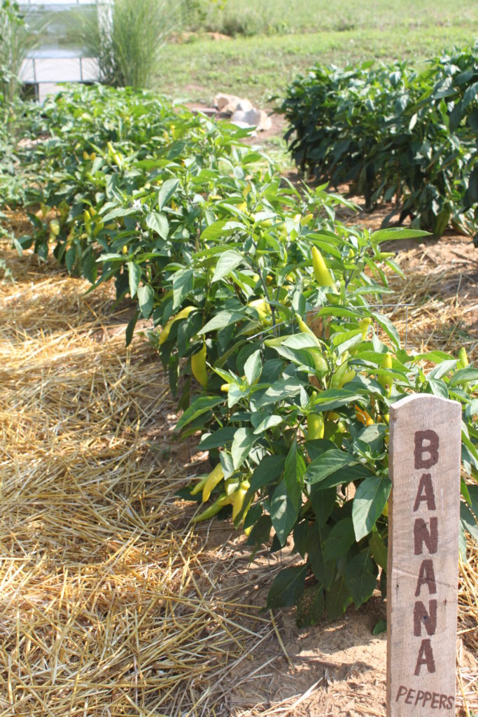Grow a vegetable garden as your new year workout gym - How to can banana peppers from your garden ...