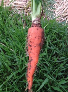 Crops sewn directly into the soil like carrots benefit from rich,.well drained soil and plenty of water