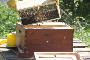 The bees are dumped into our waiting hive. In spite of some nervousness...the whole process went fairly well.