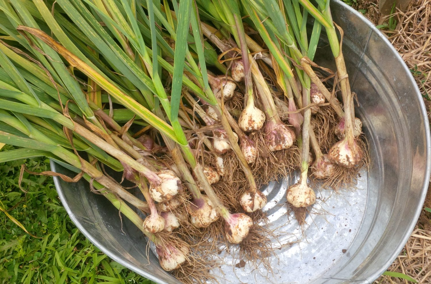 It's Garlic Season! Harvesting and Storing The Garlic Crop – Video Included!