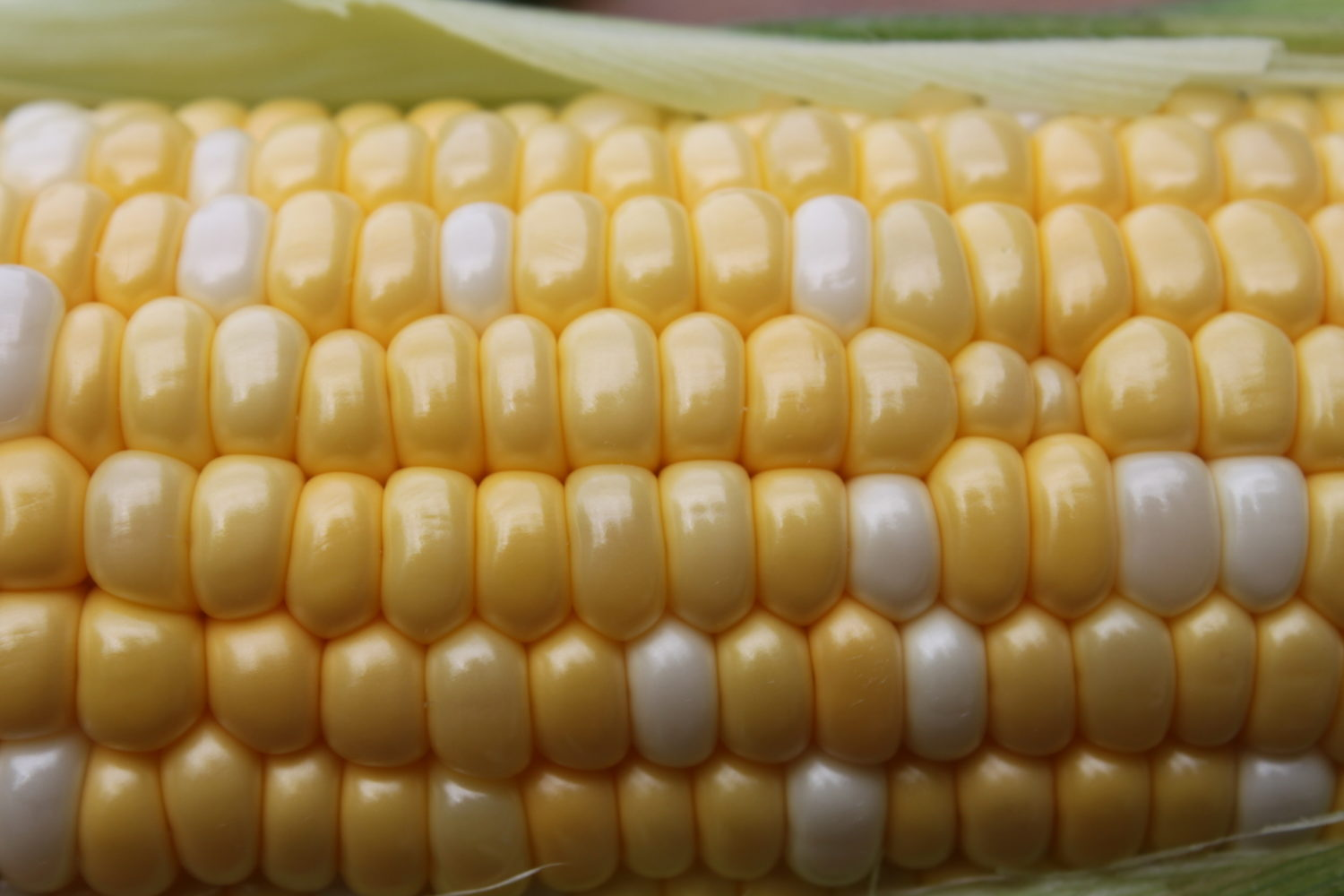 How To Preserve Sweet Corn – To Freeze or Can?  That is the Question