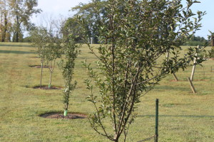 plant fruit trees
