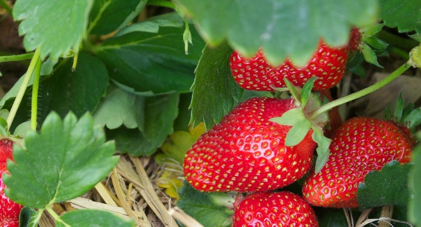 The New Strawberry Patch Is Planted – A Few Times!