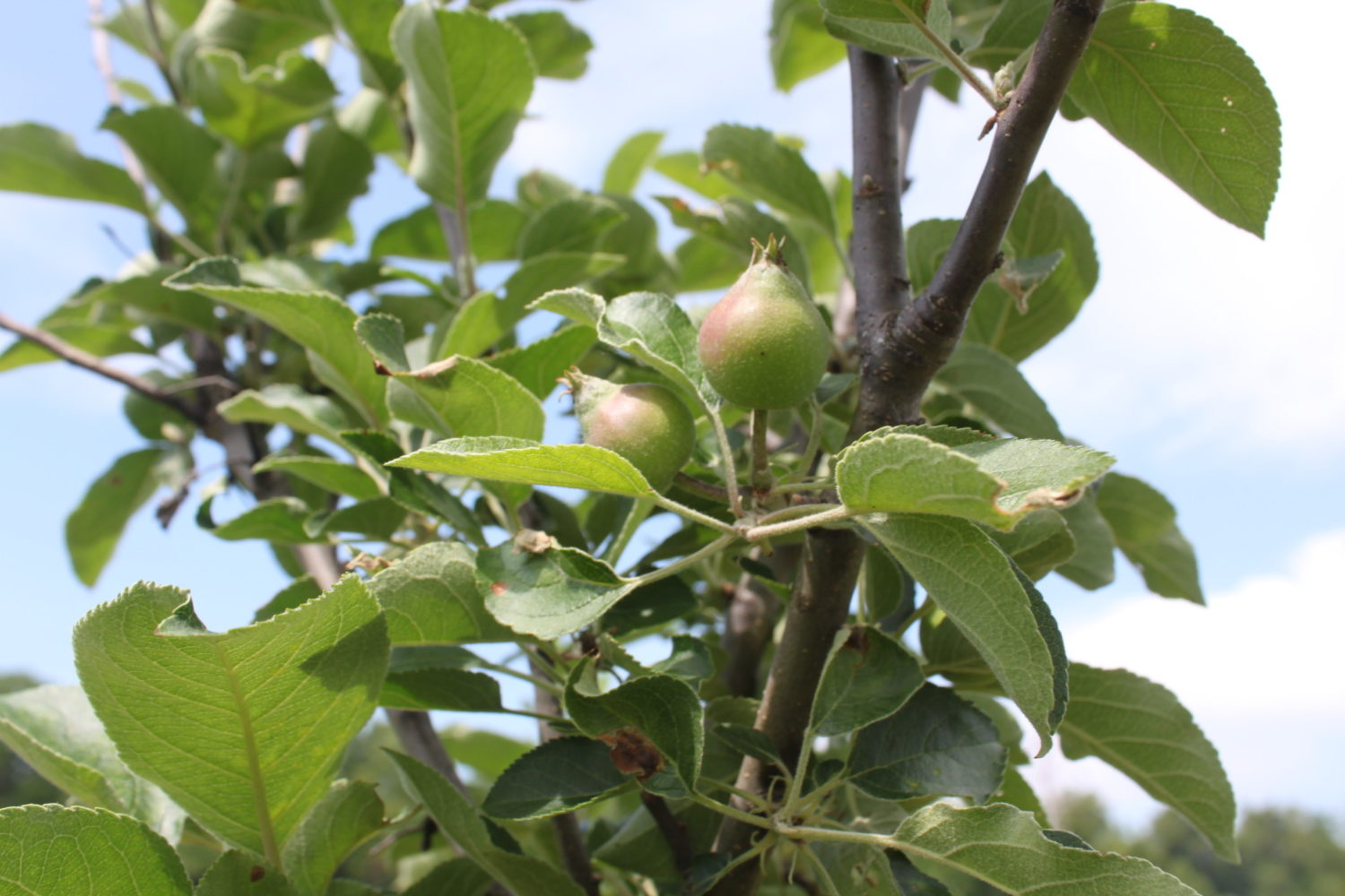 We Have Baby Apples! The Power of Planning, Patience and Persistence…