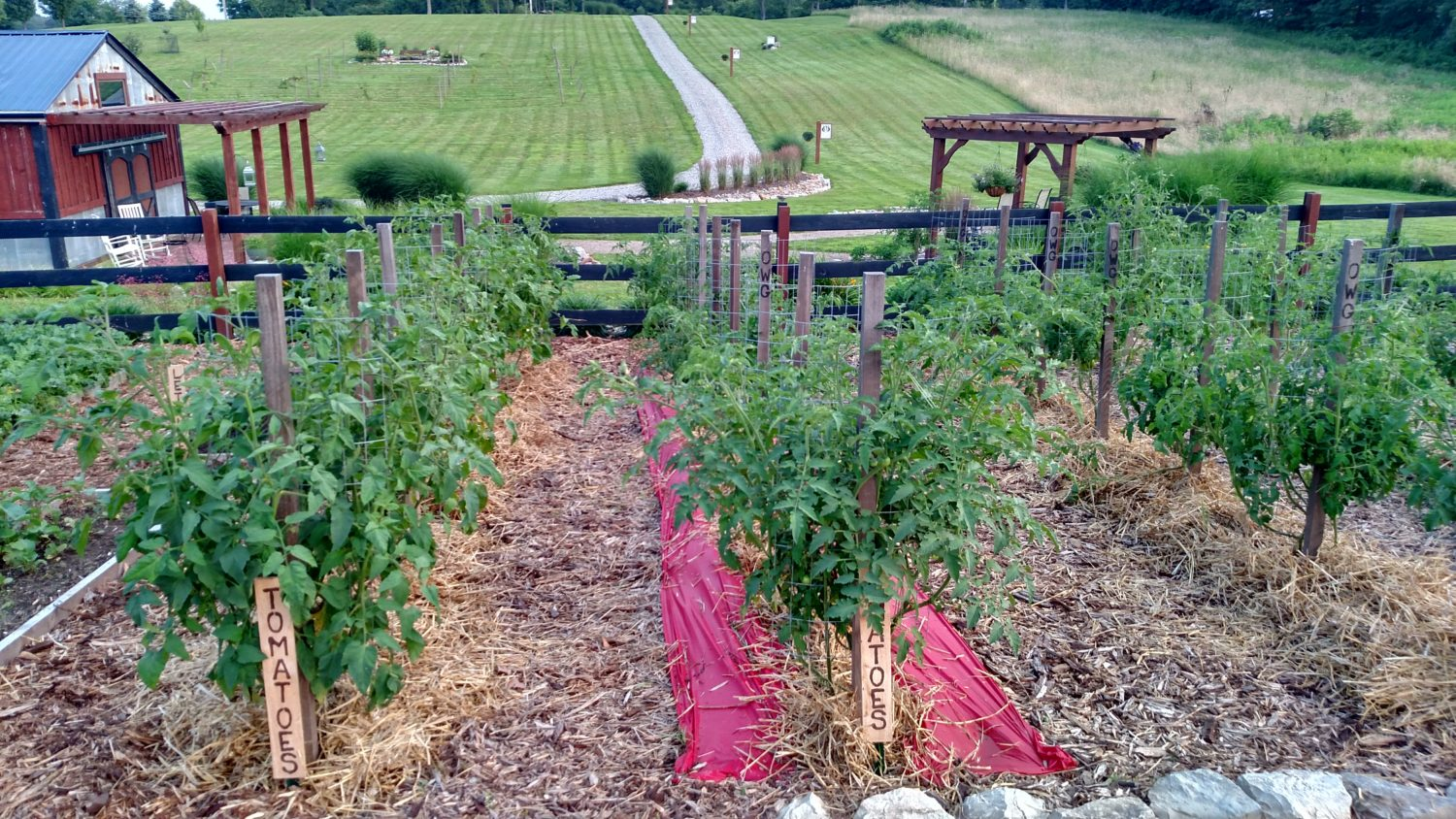 Pruning Tomatoes – How and Why For A Better Crop This Year!