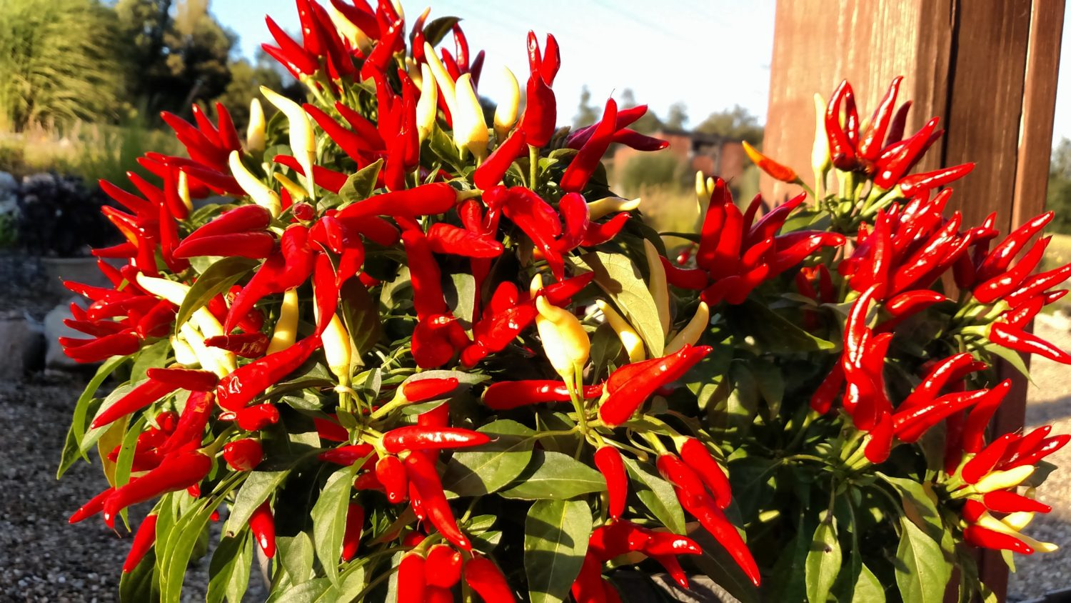 Growing Ornamental Peppers