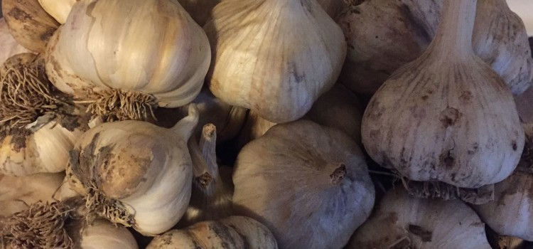 How To Grow Garlic This Fall – Simple Methods To A Great Crop