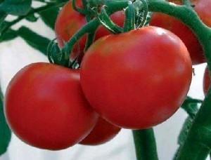 perfect tomatoes