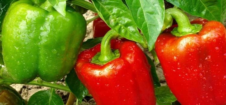 fertilizing vegetable gardens