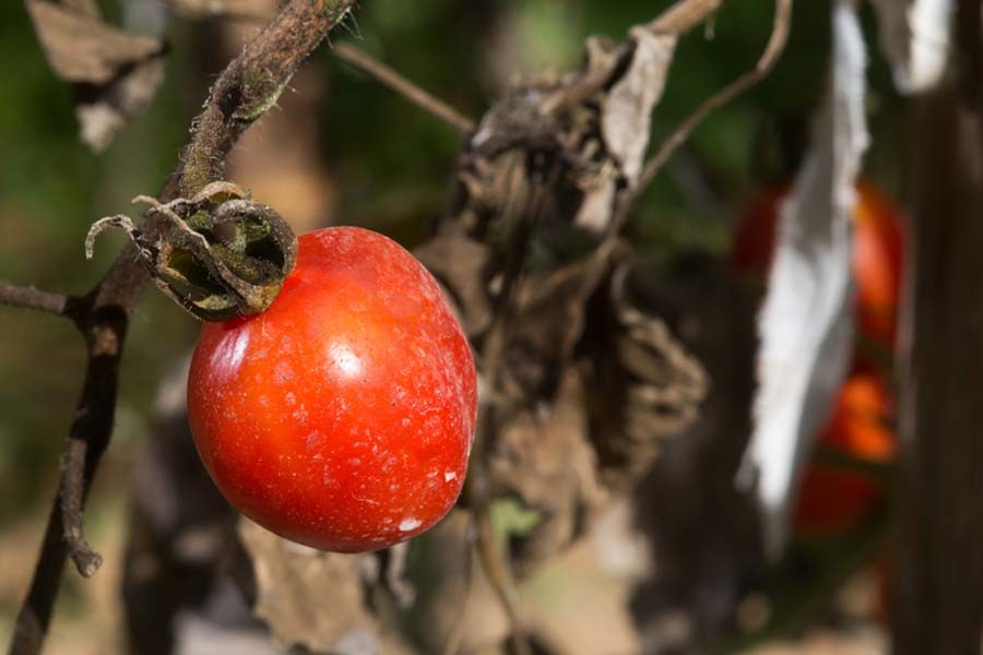 How To Keep Tomato Plants Healthy 5 Tips To Eliminate