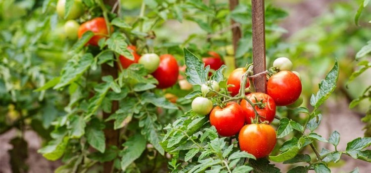 How To Support Tomato Plants Easily – And Why It's So Important!