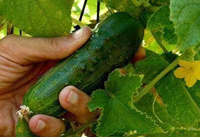 protect cucumber plants