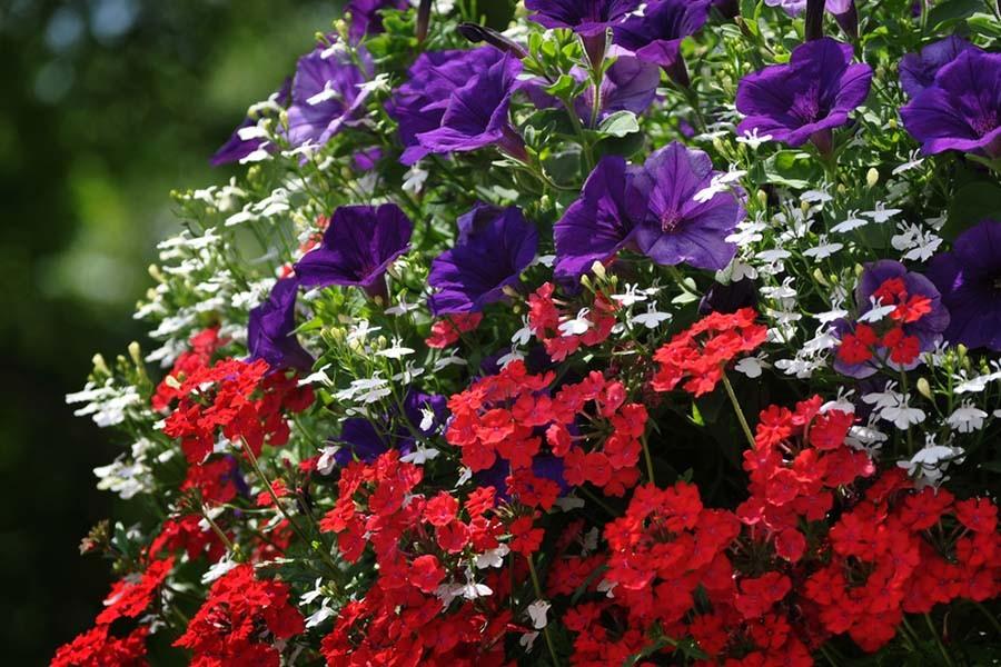hanging baskets blooming