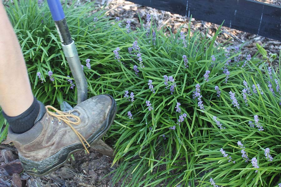 dividing perennial plants