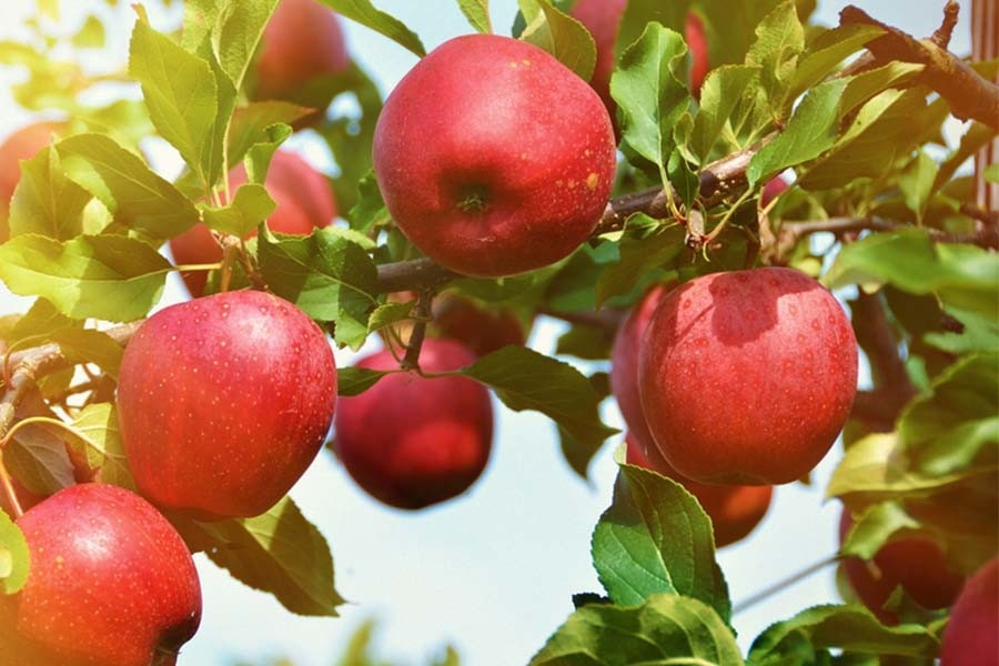 Planting Apple Trees - 3 Great Backyard Varieties To Plant ...