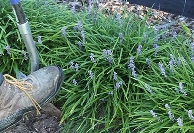 How To Divide Perennial Plants This Fall Create New Plants For Free