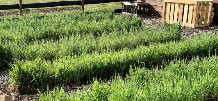 No-Till Garden Cover Crops, How To Stop Next Year's Weeds This Fall!
