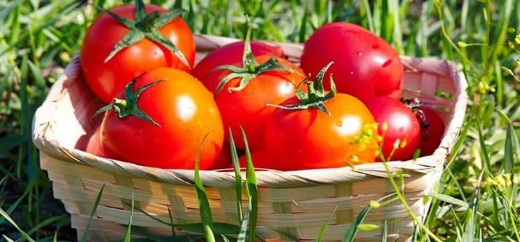 disease free tomato plants