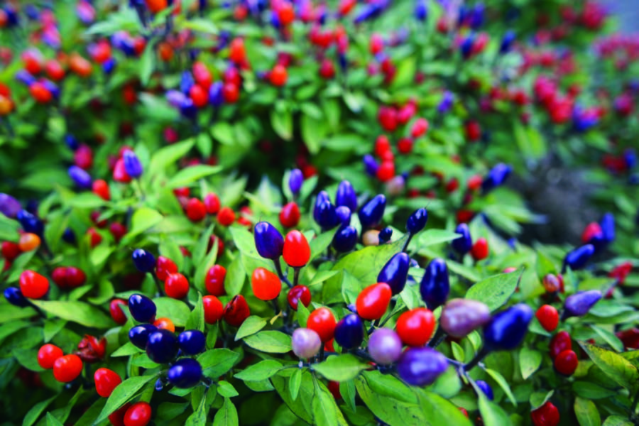 ornamental peppers - container plants