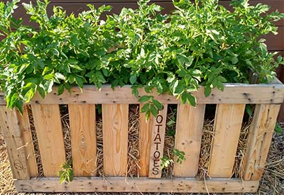homemade potato crates