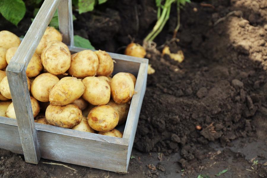 potato crates