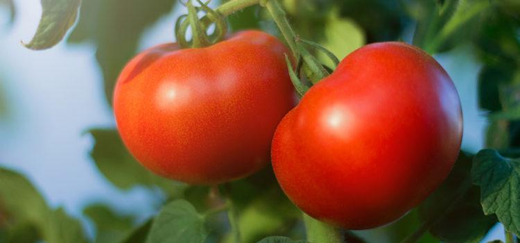 plant tomatoes