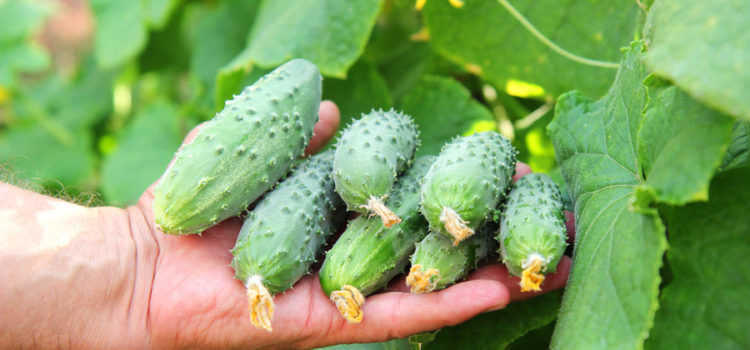 grow cucumbers