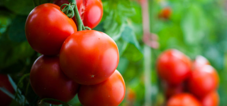An Amazing Way To Fertilize Tomato Plants Naturally- And Peppers Too!