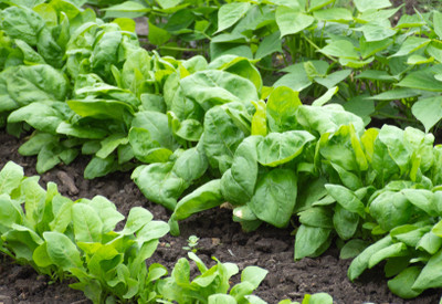 fall vegetable crops