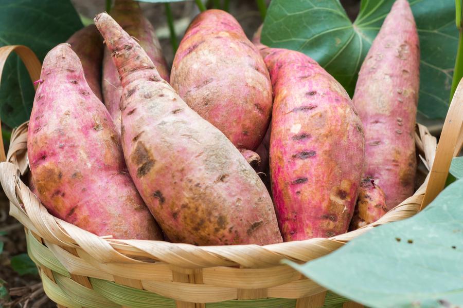 harvest sweet potatoes