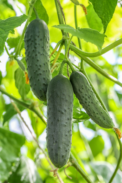 pickling cucumber varieties