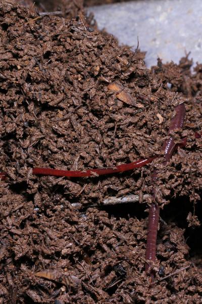 worm casting plant fertilizer