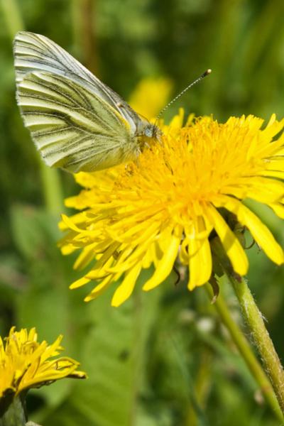 butterfly feeding on a dandelion