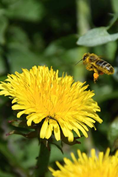 honey bees working blooms
